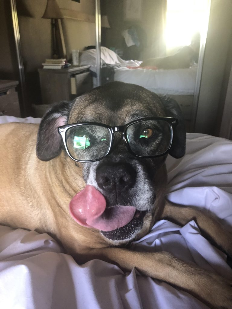 A dog with a person's black square framed glasses on its face