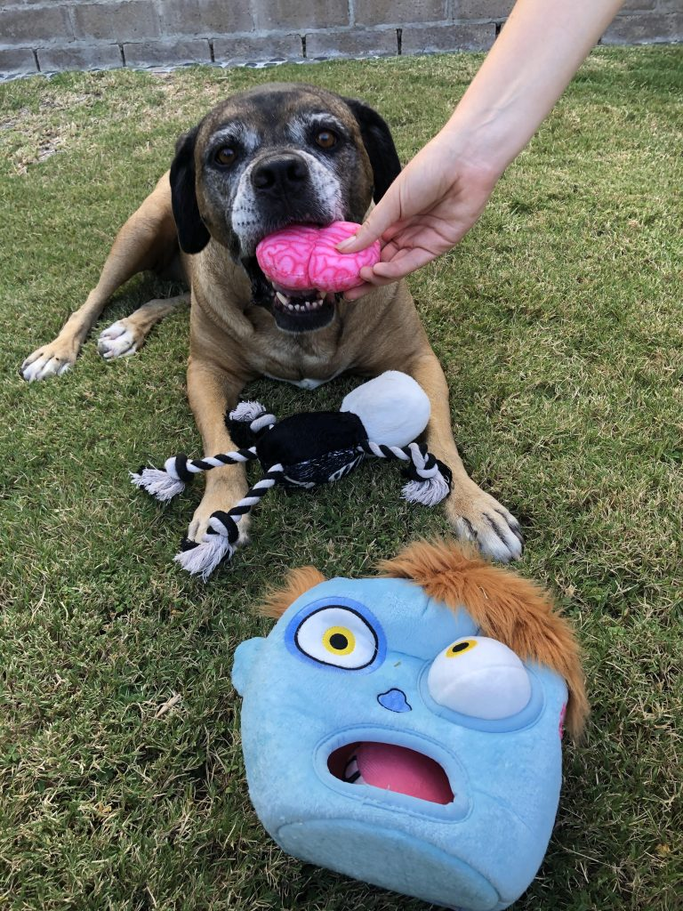 A dog with a zombie dog toy, with the brains in her mouth