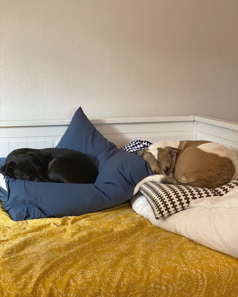 A black dog laying on a blue pillow on a day bed with a yellow bedspread. Next to the dog is a brown and white dog on a brown and white patterned pillow. Both dogs are snuggled in on their pillows, in a round formation.