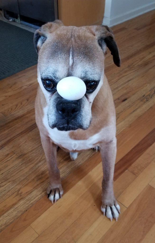 A boxer looking dog balancing an egg on their snoot