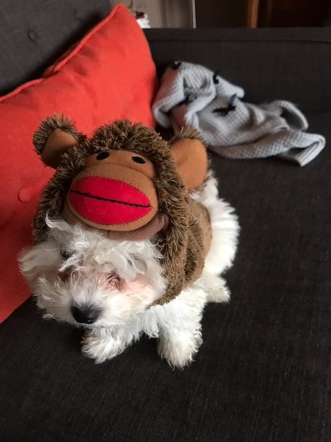 A white poodle looking dog with a monkey stuffie wrapped around its head