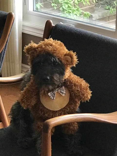 A dark brown, small, fluffy dog in a bear costume
