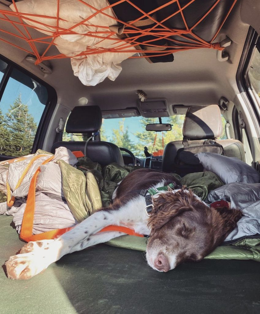 A brown and white dog sleeping in the back of a Nissan Xterra