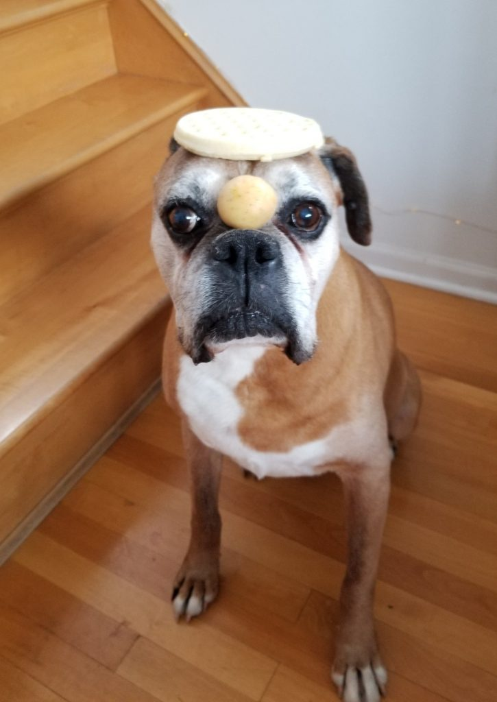 A dog posing with a frozen waffle on its head and small potato on its nose